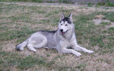 raza husky siberiano fotos de perros husky siberiano