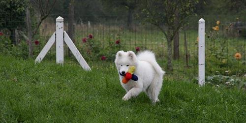Perros de raza Samoyedo