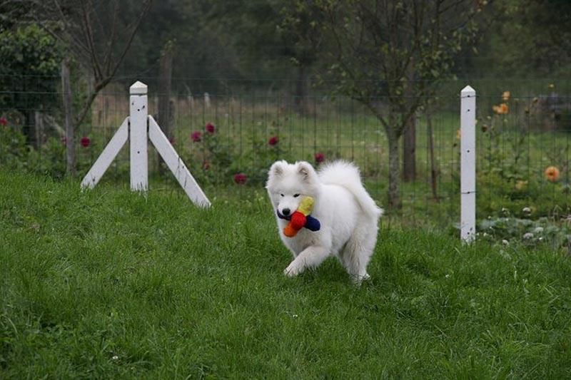 Raza Samoyedo. Fotos de perros Samoyedo
