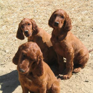 Perros Setter Irland�s