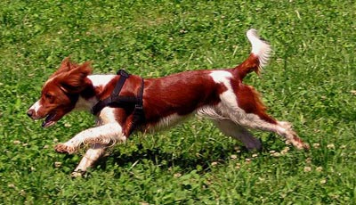 Perros Springer Spaniel galés