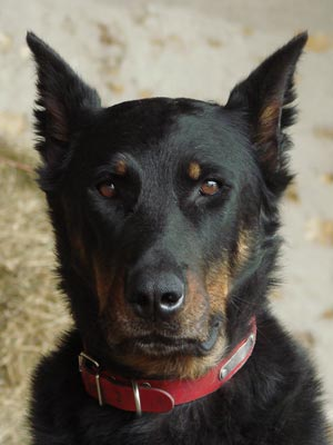 Raza Beauceron