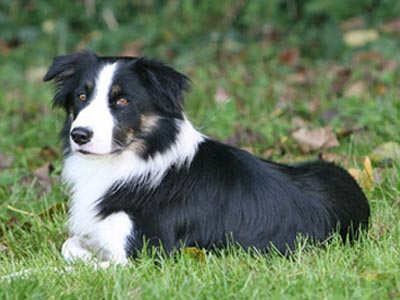 Raza Border Collie