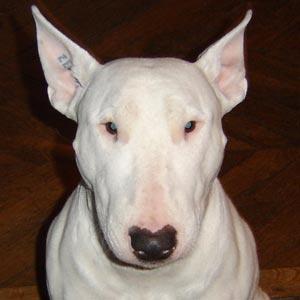 Raza Bull Terrier inglés