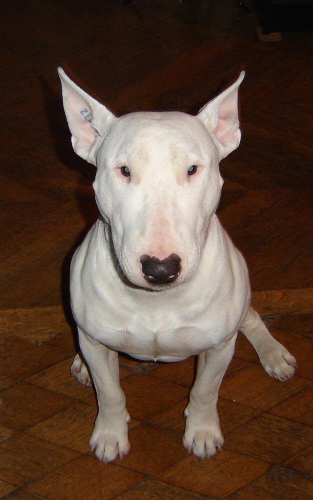 Raza Bull Terrier Inglés  Fotos de perros Bull Terrier Inglés