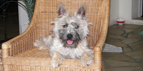 Raza Cairn Terrier