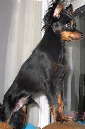 Raza Peque 241 O Perro Ruso Fotos De Perros Peque 241 O Perro Ruso