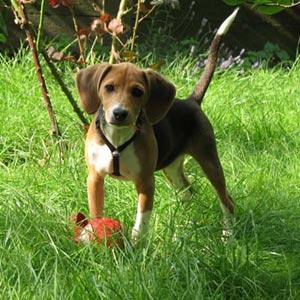 Razas de perros Beagle Harrier