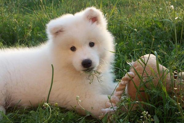 ANIMAL PLANET 3000: SAMOYEDO